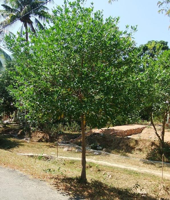 830 데와다루 나무.jpg