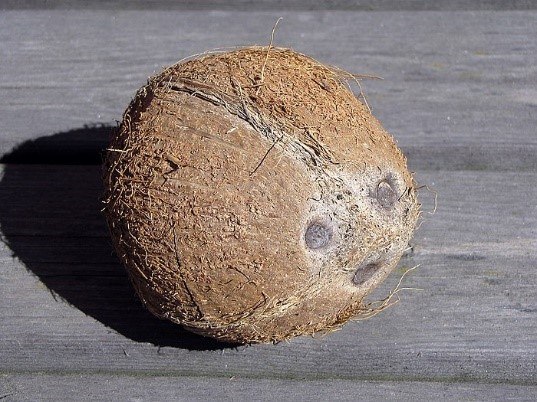 코코넛1.jpg