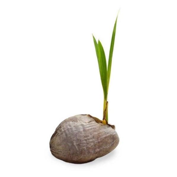 코코넛2.jpg