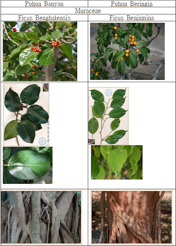 17일 반얀과 브링인 나무 비교1.jpg