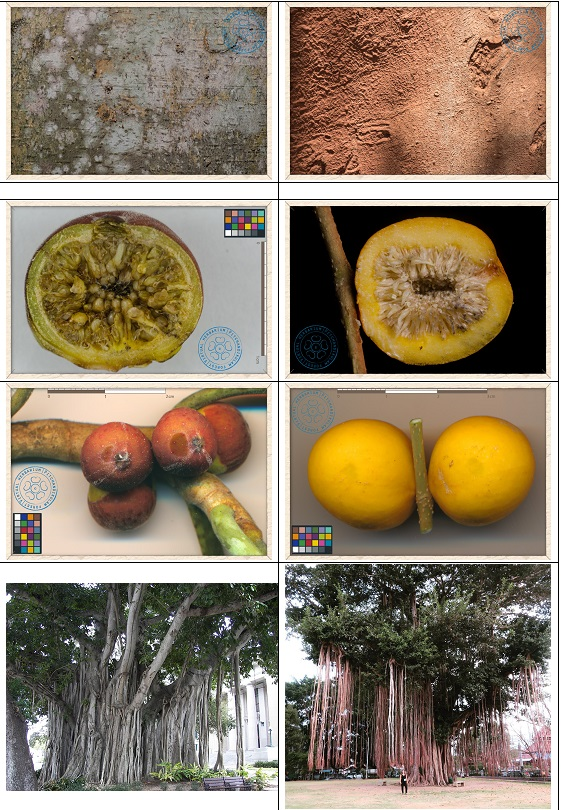 17일 반얀과 브링인 나무 비교2.jpg